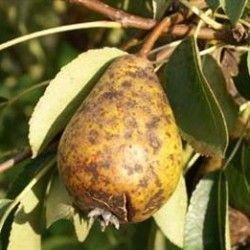Хвороби груші