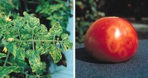 Хвороби і шкідники томатів (помідор)