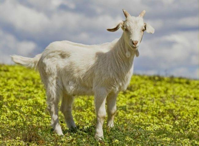 mastit u kozy