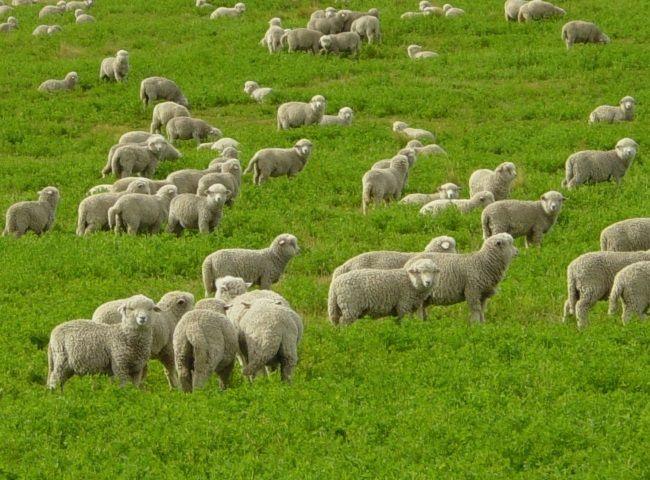 хвороби овець