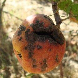 Хвороби плодів при зберіганні