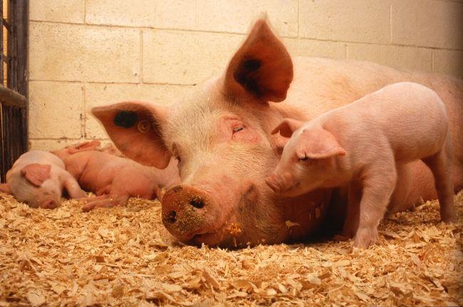 zaraznye bolezni svinej