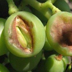Хвороби винограду фото