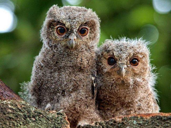 Маленькі совята.