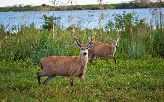Болотний олень споживають в їжу латаття і інші листя.