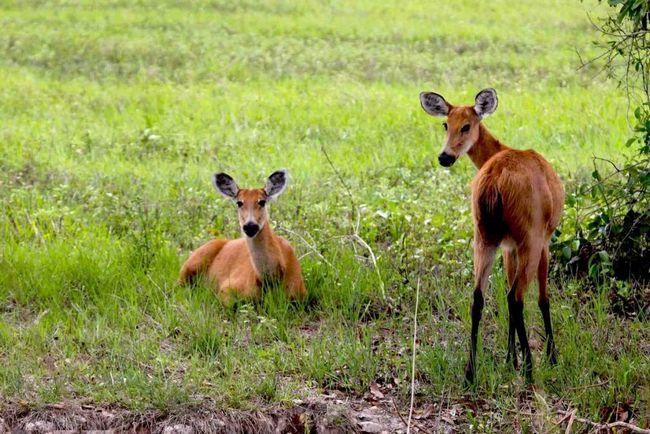 Через неконтрольованої полювання болотний олень став рідкісним.