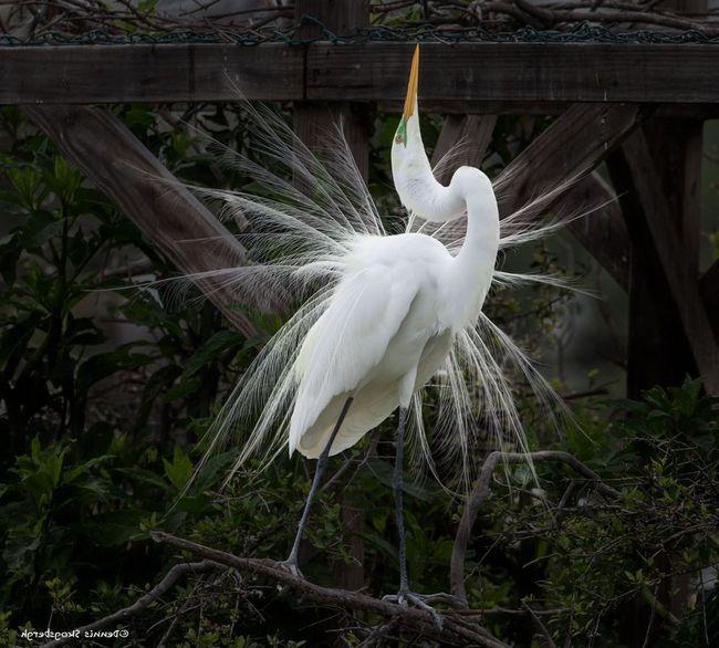 Біла чапля (Ardea alba)