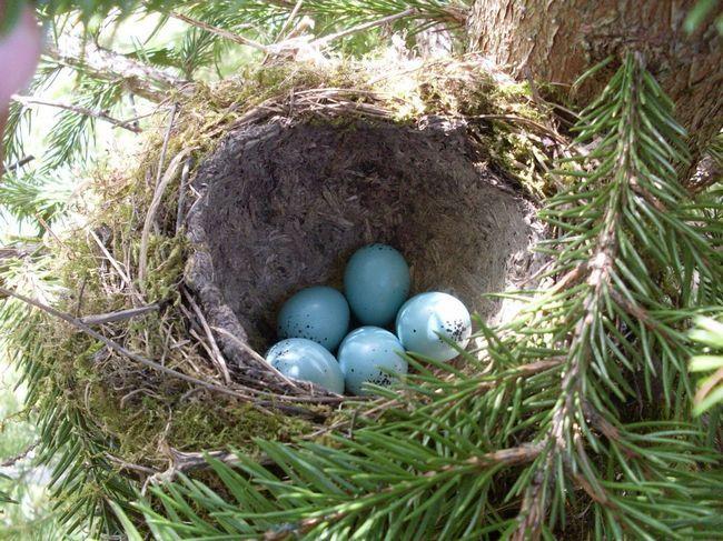 Дивно, але яйця великої білої чаплі мають дивовижний блакитний відтінок.