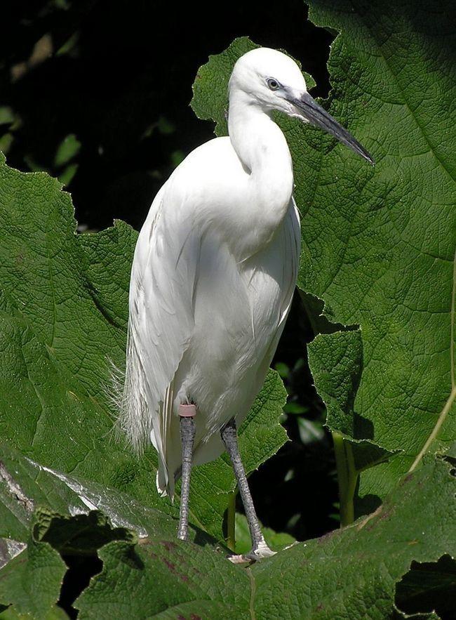 Білих чапель кільцюють орнітологи. Так вони дізнаються нове про цих птахів і відстежують кількість популяції.