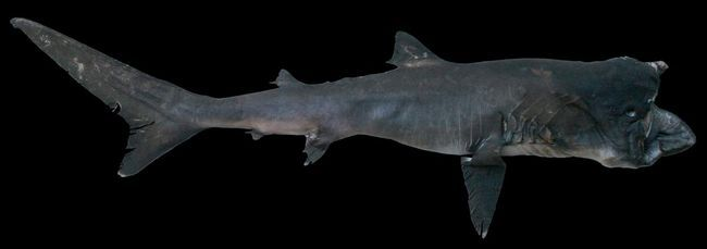 Акула великорота (Megachasma pelagios).