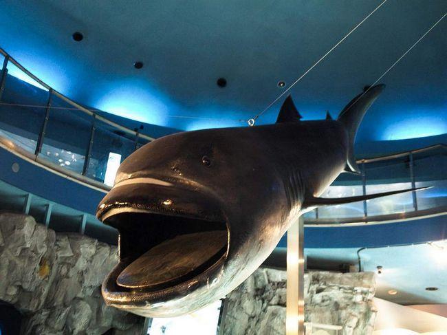 Макет великороті акули в музеї.