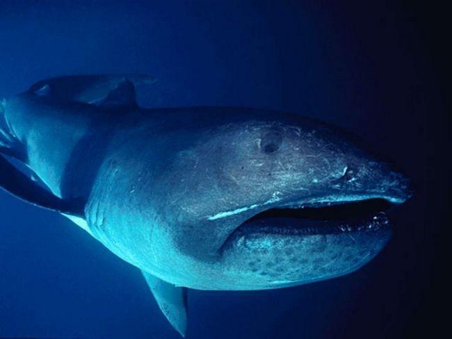 Отакецький акула - унікальне і рідкісне істота.