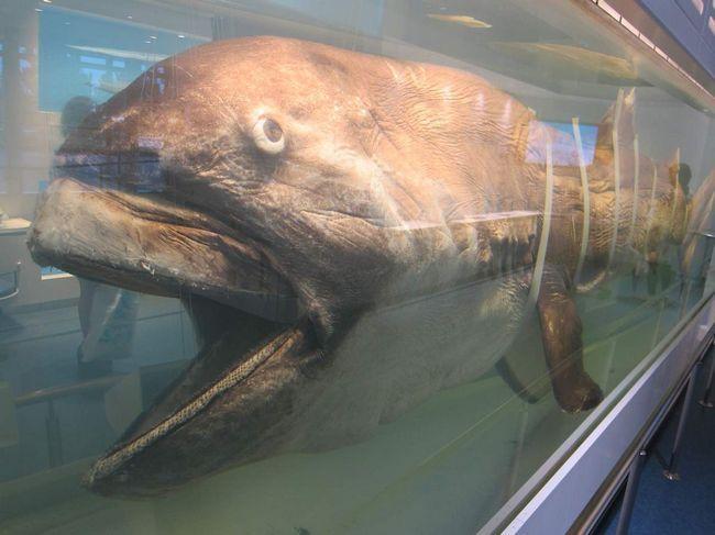 Вважається, що отакецький акула згадувалася в древніх легендах про чудовиськ, що водилися в водах Світового океану.