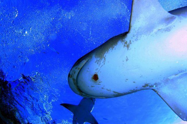 Большезубая сигарна акула (Isistius plutodus)