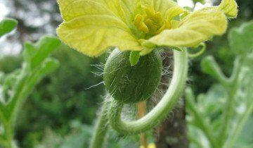 Цвітіння кавуна, floraprice.ru