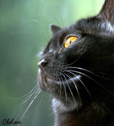 Бомбейська кішка (Bombay Cat), порода короткошерстих кішок.