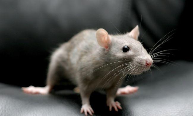 Боротьба з пацюками: основні засоби і методи
