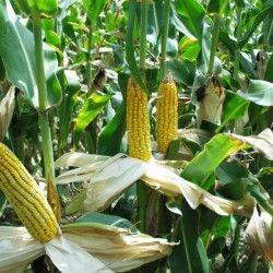 Боротьба з бур`янами на кукурудзі