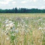 Боротьба з бур`янами на посівах озимої пшениці