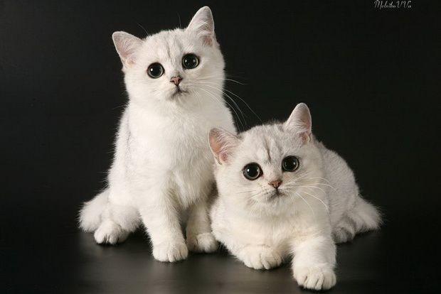 Срібляста шиншила, срібляста шиншила кішка фото1