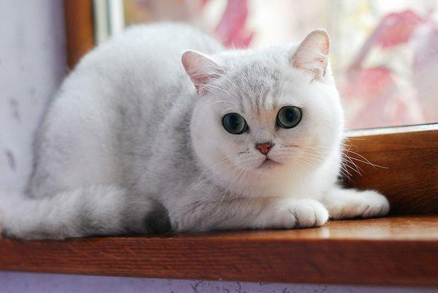 Срібляста шиншила, срібляста шиншила кішка 2