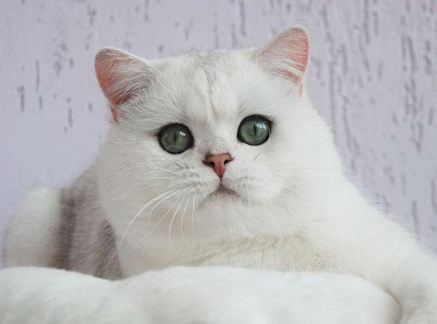 Срібляста шиншила, срібляста шиншила кішка 3