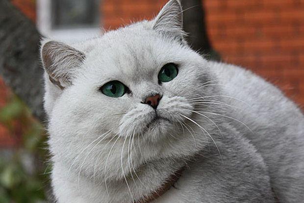 Срібляста шиншила, срібляста шиншила кішка