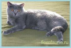 Брітанскаякороткошерстная кішка