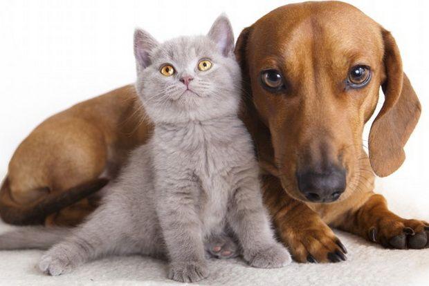 Британські кішки і собаки