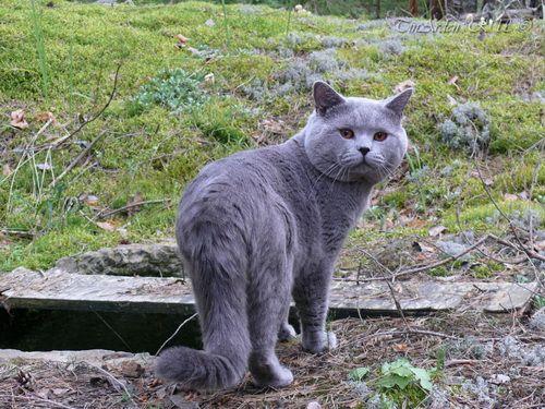 Британські кішки на дачі: правила безпеки