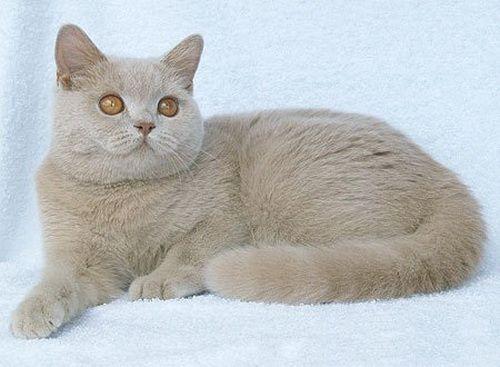 Фавн кішки фото