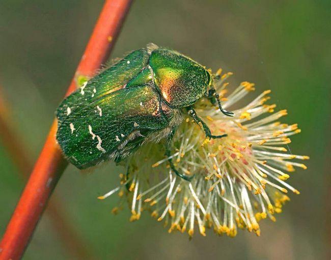 Бронзовка харчується рослинами.