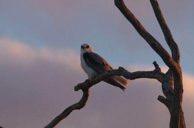 Буквокрилий димчастий шуліка зустрічається серед дерев уздовж річок.