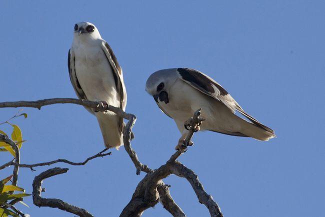 Буквокрилие димчасті шуліки гніздяться колоніями, рідко окремими парами.