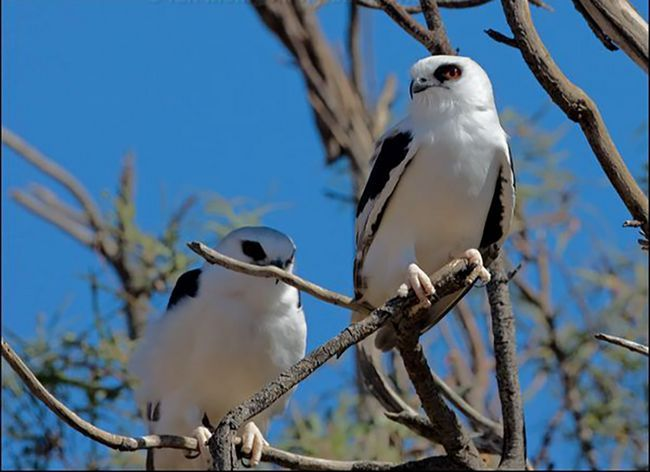 Буквокрилие димчасті шуліки полюють в паренні над територією