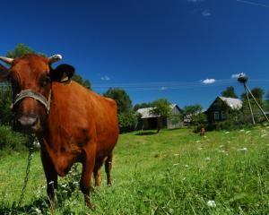 Бура латвійська порода корів