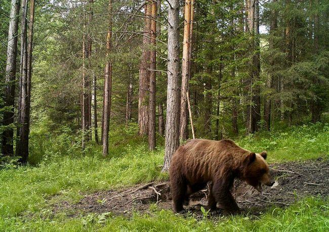 Сибірський бурий ведмідь - господар російської тайги.