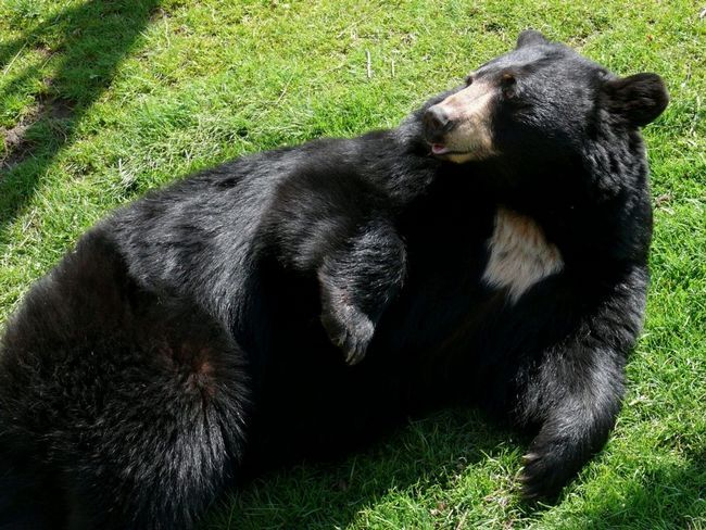 Гімалайський ведмідь відпочиває на галявині.