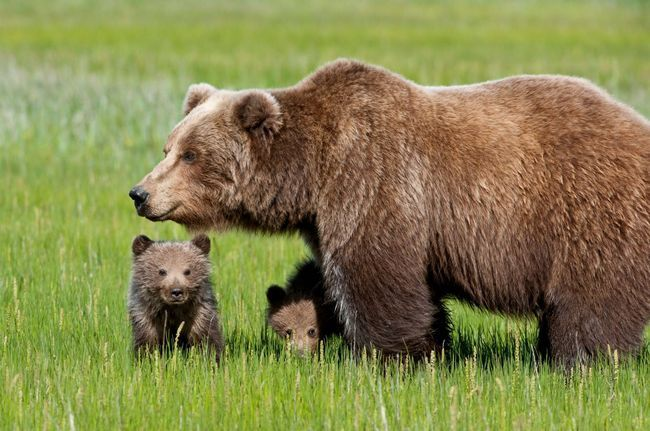Сибірський ведмідь і його потомство.
