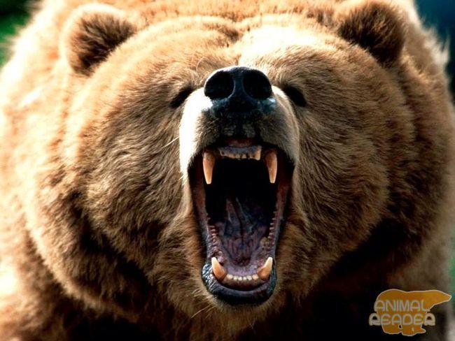 Бурий ведмідь (Ursus ARCTOS)