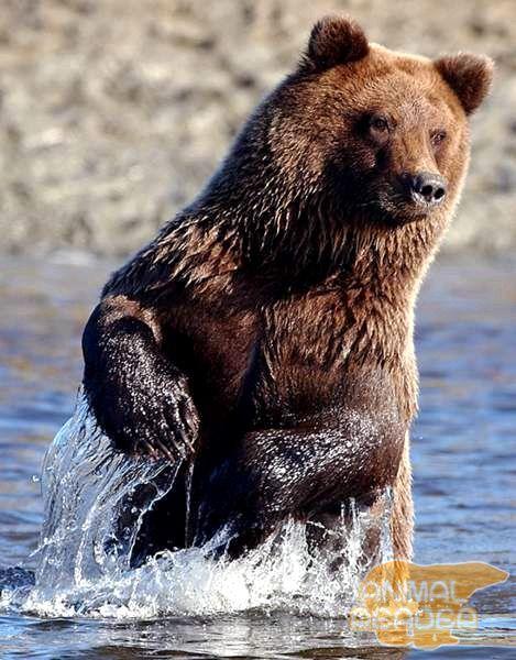 Ведмідь-рибалка