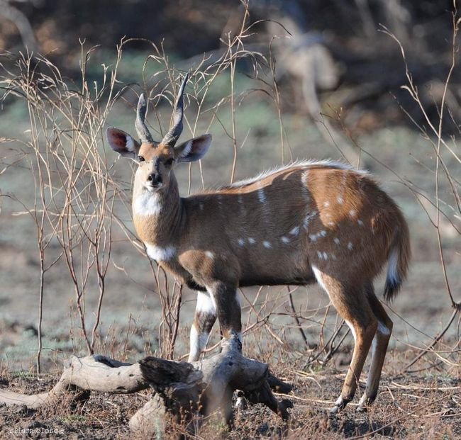 Лісова антилопа - бушбок (Tragelaphus scriptus).