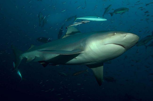 Акула-бик (Carcharhinus leucas).