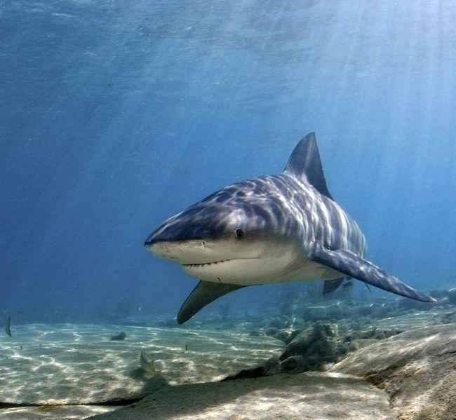 Бичача акула - найнебезпечніший мешканець підводного світу.