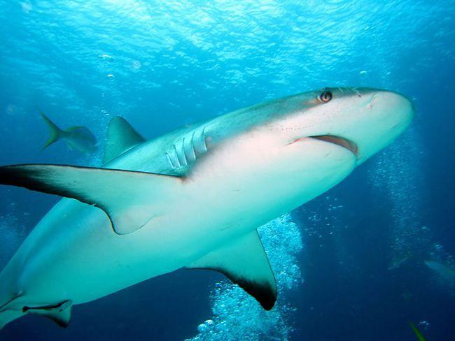 Тупорилі акули зустрічаються в прибережних водах на глибині до 152 м.
