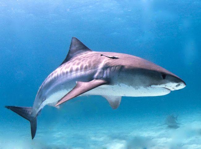 Назва акули пов`язано з формою тіла, широким і притупленим рилом, а також агресивною поведінкою.