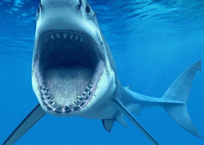 Акула-бик, або акула-бик