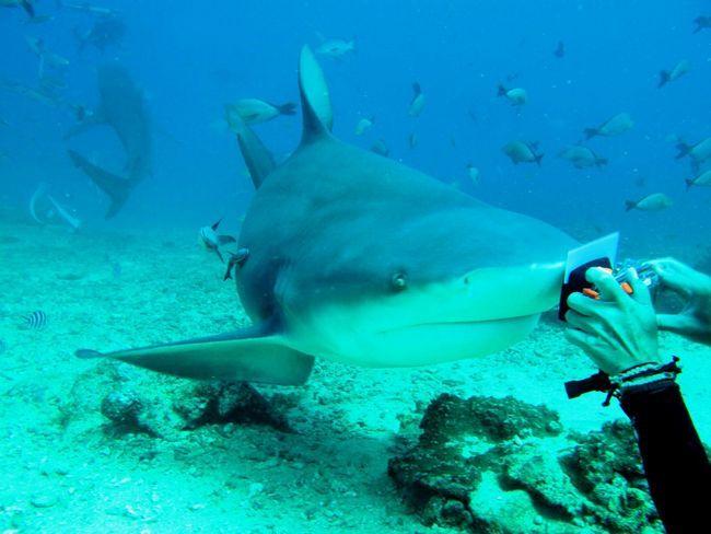 На кінці морди у акули-бика є унікальні рецептори, чутливі до електромагнітних випромінювань.