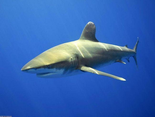 Акула-бик - самий грізний і лютий хижак, що мешкає в морських водах.