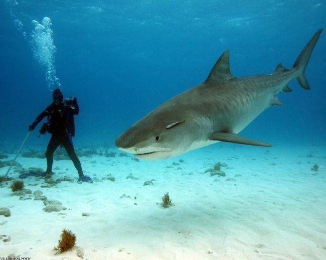 Людям подобаються страви з м`яса акул ... Але в морській безодні і людині дуже легко стати ласощами для бичачої акули.